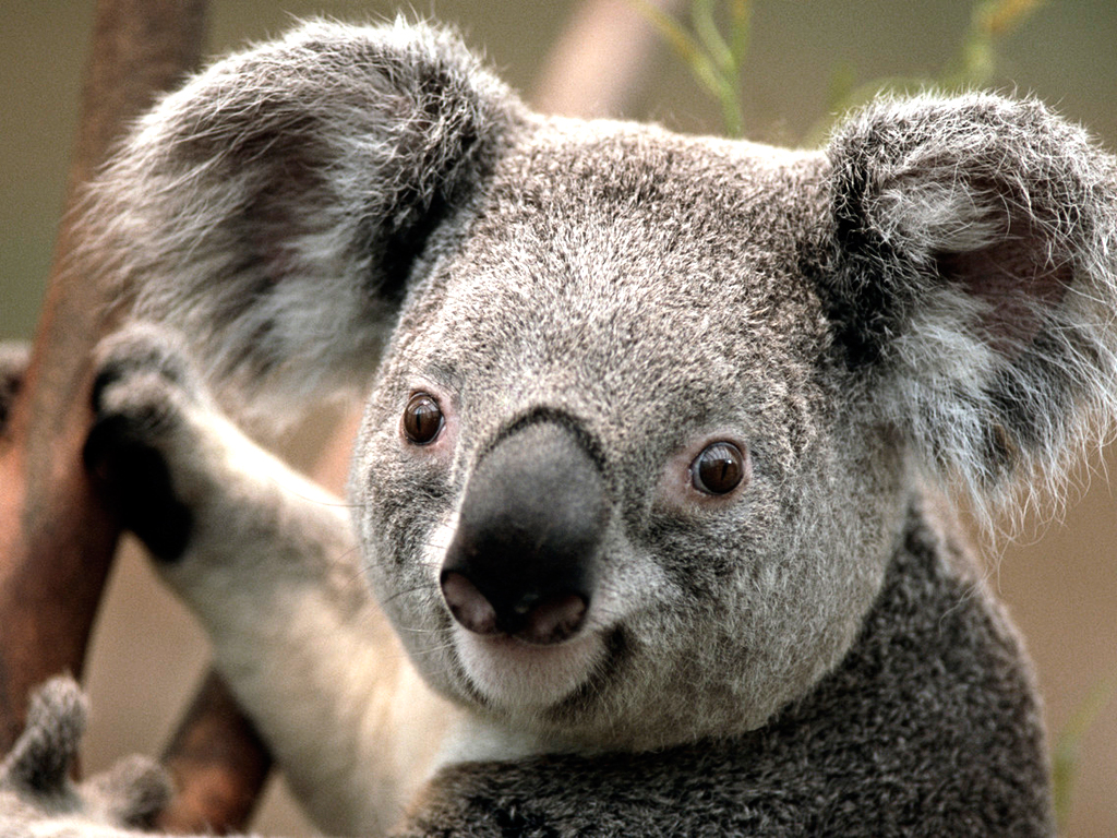 サンプルピクチャのコアラ