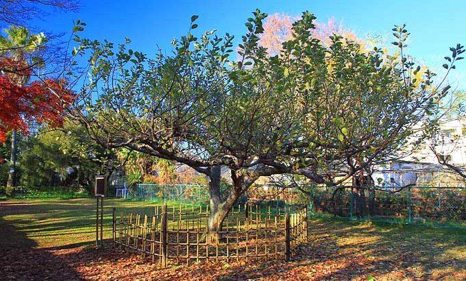 意外と身近にある?ニュートンのリンゴの木