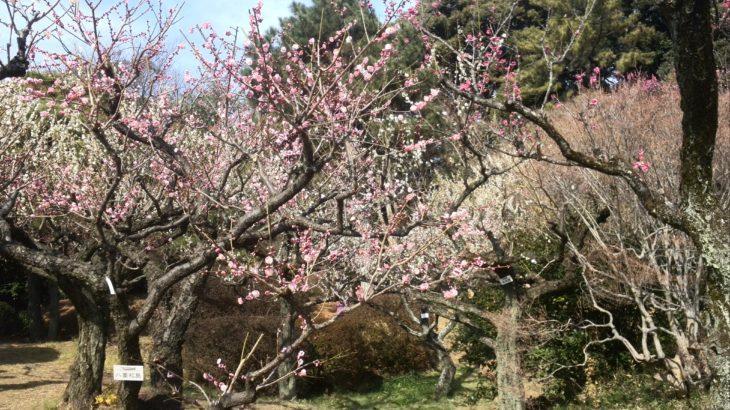 ニュートンのリンゴの木を見に小石川植物園に行ってきました。